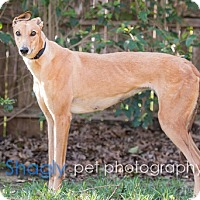 Adopt A Pet :: Voom Voom - Dallas, TX