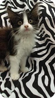 Domestic Mediumhair Kitten for adoption in Gulfport, Mississippi - Cash( Foster with siblings)