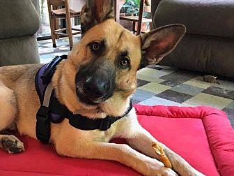 German Shepherd Dog Dog for adoption in Washington, D.C. - Duke