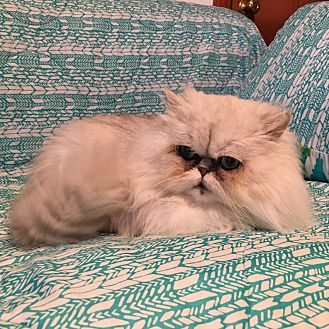Persian Cat for adoption in Beverly Hills, California - Oscar