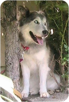 Siberian Husky Dog for adoption in Poway, California - Shatzi