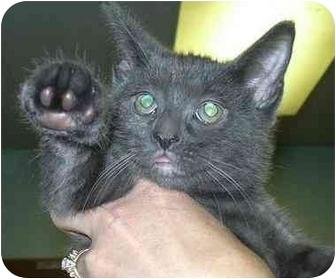 Russian Blue Kitten for adoption in West Warwick, Rhode Island - Shiloh