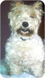 Standard Schnauzer Dog for adoption in Troy, Michigan - Jessica