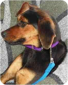 Dachshund Mix Puppy for adoption in Loudonville, New York - Smidge