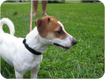 Jack Russell Terrier Puppy for adoption in Troy, Ohio - Buttercup~Adopted