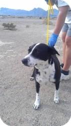 Border Collie Mix Dog for adoption in Las Vegas, Nevada - Sugar