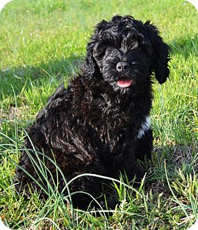 Portuguese Water Dog/Labradoodle Mix Puppy for adoption in Westport, Connecticut - *Snickers - PENDING