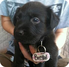 Labrador Retriever/Australian Cattle Dog Mix Puppy for adoption in Phoenix, Arizona - Bristol