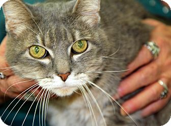 Domestic Shorthair Cat for adoption in Bradenton, Florida - Gracie