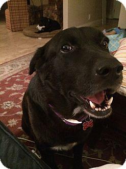 Labrador Retriever Mix Dog for adoption in Phoenix, Arizona - Romie