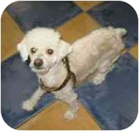 Poodle (Toy or Tea Cup) Dog for adoption in Boca Raton, Florida - Luvey