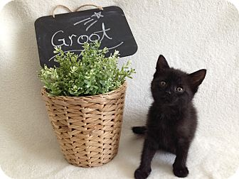 Domestic Shorthair Kitten for adoption in Coral Springs, Florida - Groot