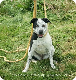 Australian Cattle Dog/Pointer Mix Dog for adoption in Bellefontaine, Ohio - Freckles