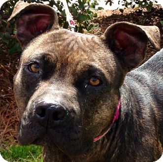 Boxer Mix Dog for adoption in Media, Pennsylvania - Savannah