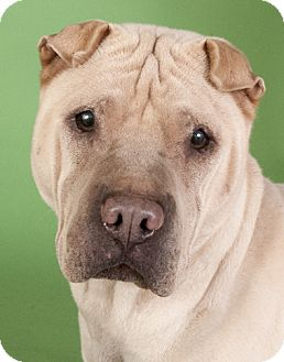 Shar Pei Dog for adoption in Chicago, Illinois - Sasha