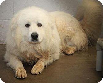 Great Pyrenees Mix Dog for adoption in Philadelphia, Pennsylvania - Sammy
