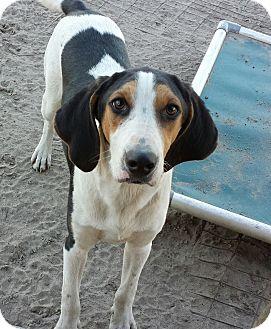 Beagle/Foxhound Mix Dog for adoption in Orange Lake, Florida - Oliver