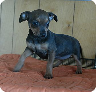 Jack Russell Terrier Mix Puppy for adoption in San Pablo, California - GABRIELLA