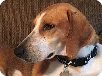 Hound (Unknown Type) Mix Dog for adoption in Media, Pennsylvania - Bowie