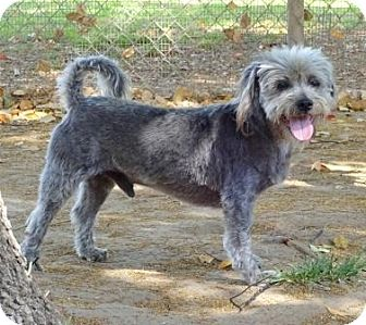 Lhasa Apso/Poodle (Miniature) Mix Dog for adoption in Lathrop, California - Clooney