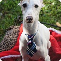 Adopt A Pet :: Peyton in Houston - Argyle, TX