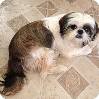 Shih Tzu Mix Dog for adoption in Los Angeles, California - PHANTOM