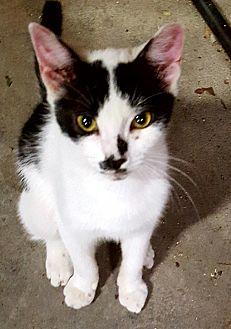 Domestic Shorthair Cat for adoption in Virginia Beach, Virginia - Preston