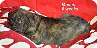 Labrador Retriever/Border Collie Mix Puppy for adoption in Yreka, California - Moses