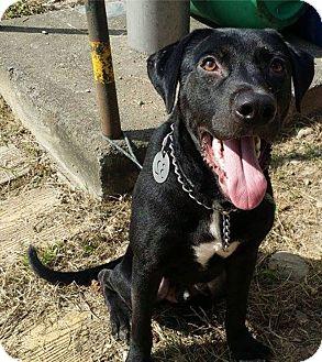 Labrador Retriever Mix Dog for adoption in menlo park, California - London