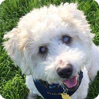 Bichon Frise Mix Dog for adoption in La Costa, California - Jasper