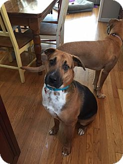 Shepherd (Unknown Type) Mix Dog for adoption in Bedford Hills, New York - Oliver