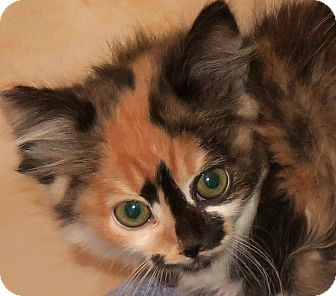 Domestic Longhair Cat for adoption in Bedford, Virginia - Magnolia