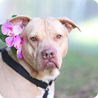 Pit Bull Terrier/Shar Pei Mix Dog for adoption in Alpharetta, Georgia - Princess