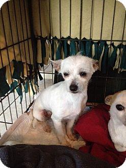 Wheaten Terrier Mix Dog for adoption in Shannon, Georgia - Daisy