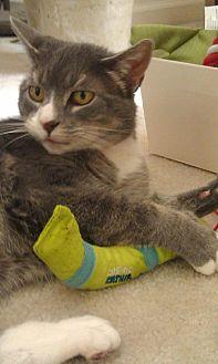 Domestic Shorthair Cat for adoption in Trexlertown, Pennsylvania - Bailey*
