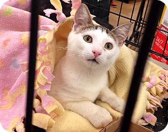 Domestic Shorthair Kitten for adoption in Marlton, New Jersey - Teddy