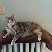 Domestic Shorthair Cat for adoption in Madison, South Dakota - Boo