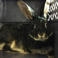 Adopt A Pet :: Jazzy - Edmonton, AB