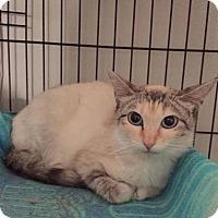 Domestic Mediumhair Cat for adoption in Mission, Kansas - Soda Lite