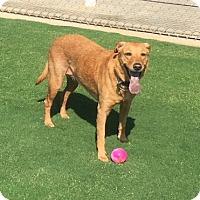 Labrador Retriever Dog for adoption in Temecula, California - Belle
