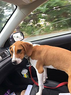 Beagle Mix Dog for adoption in Lebanon, Maine - Nugget