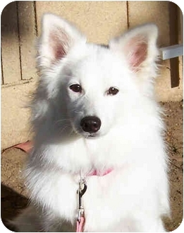 American Eskimo Dog Dog for adoption in El Segundo, California - Gigi