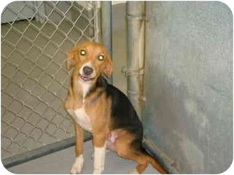 Hound (Unknown Type) Mix Dog for adoption in Greenville, North Carolina - Robbie