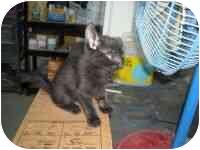 Domestic Mediumhair Kitten for adoption in Bowie, Texas - Connie