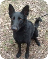 German Shepherd Dog Dog for adoption in Louisville, Kentucky - Lizzie