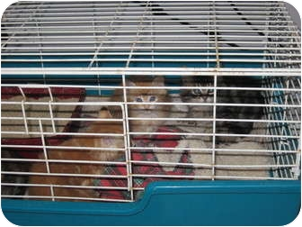 Domestic Shorthair Cat for adoption in Duncan, British Columbia - 2 pairs of feral cats