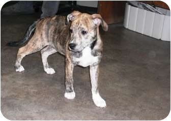Pit Bull Terrier/Terrier (Unknown Type, Medium) Mix Puppy for adoption in Rock Springs, Wyoming - Kahlua