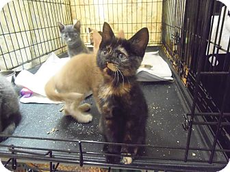 Domestic Shorthair Kitten for adoption in Catasauqua, Pennsylvania - Sienna