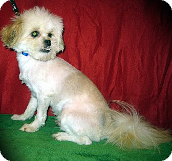 Pekingese/Shih Tzu Mix Dog for adoption in Prole, Iowa - Fenn
