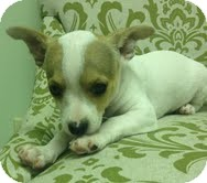 Chihuahua Mix Puppy for adoption in Hagerstown, Maryland - Tommy